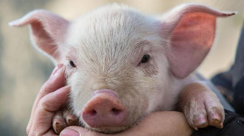 Świnie lubią ludzi