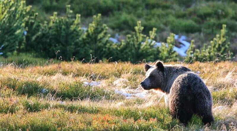 Niedźwiedzie w Puszczy Białowieskiej